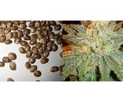 Super Fire Hybrids Seeds and Clones